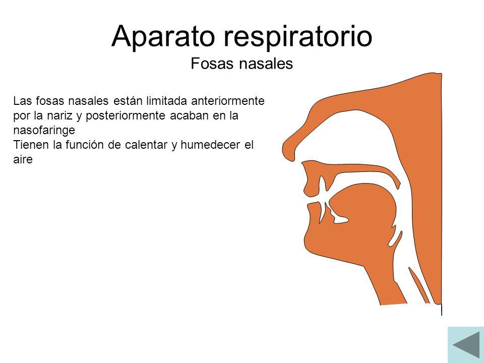 Aparato respiratorio Fosas nasales Las fosas nasales están limitada anteriormente por la nariz y posteriormente acaban en la nasofaringe Tienen la fun
