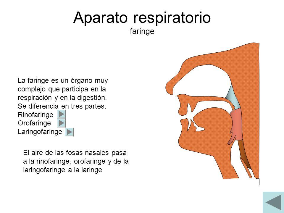 Aparato respiratorio Laringe La laringe se localiza entre la tráquea la faringe En la laringe se encuentran las cuerdas vocales donde se genera la voz, que será articulada en la boca