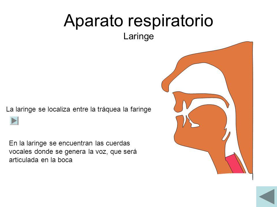 Aparato respiratorio Laringe La laringe se localiza entre la tráquea la faringe En la laringe se encuentran las cuerdas vocales donde se genera la voz