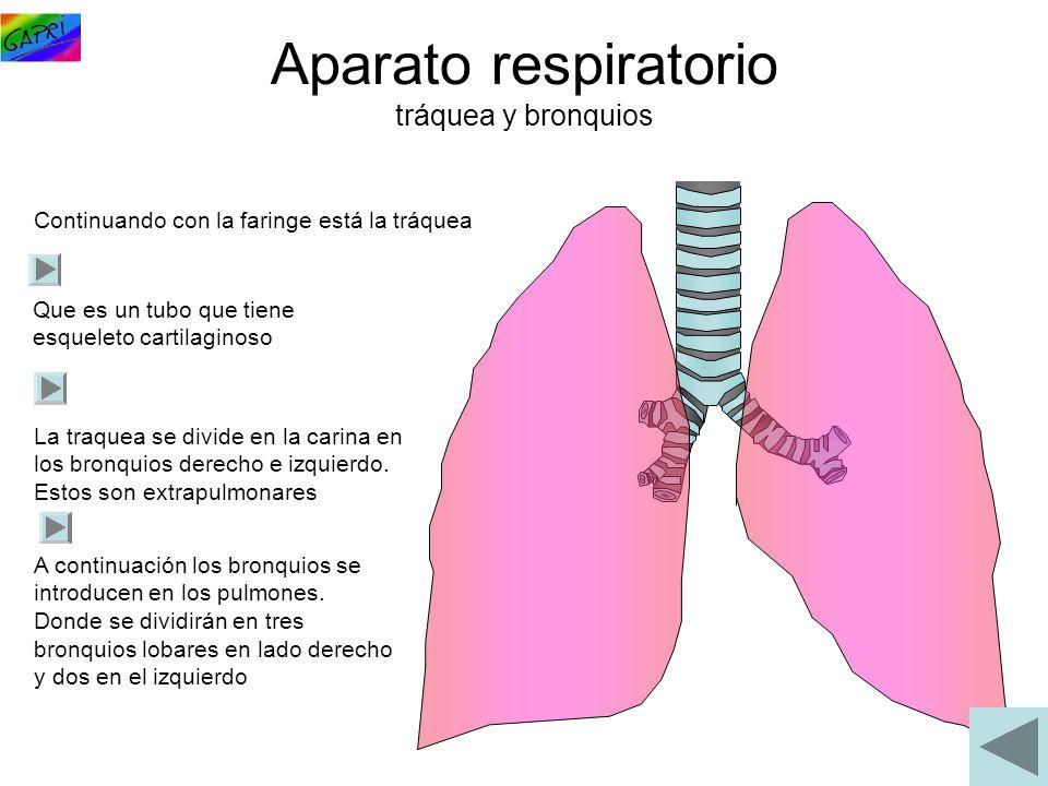 Aparato respiratorio tráquea y bronquios Continuando con la faringe está la tráquea Que es un tubo que tiene esqueleto cartilaginoso La traquea se div