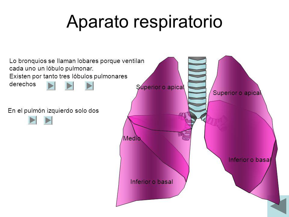 Aparato respiratorio Lo bronquios se llaman lobares porque ventilan cada uno un lóbulo pulmonar. Existen por tanto tres lóbulos pulmonares derechos En