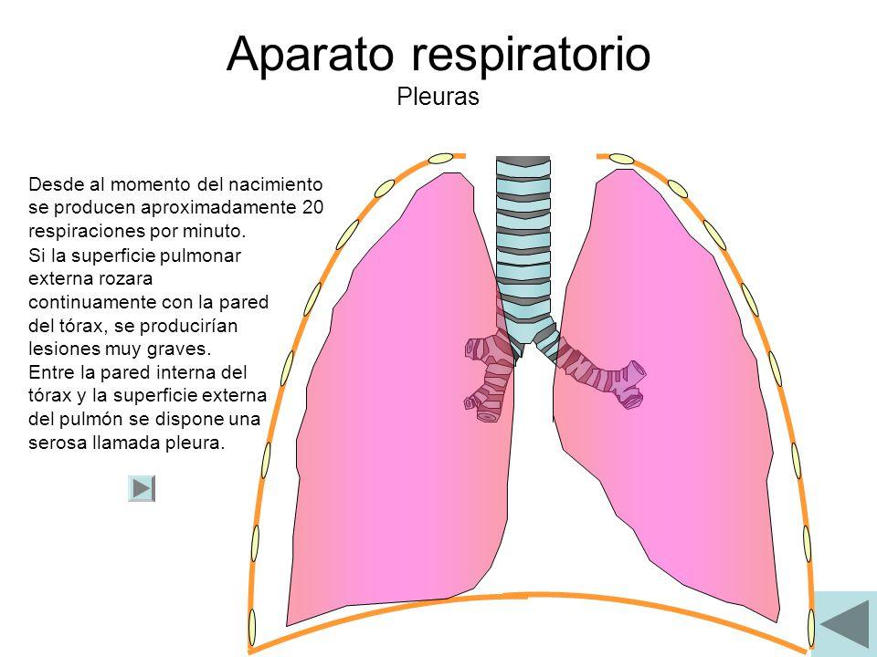 Aparato respiratorio Pleuras Desde al momento del nacimiento se producen aproximadamente 20 respiraciones por minuto. Si la superficie pulmonar extern