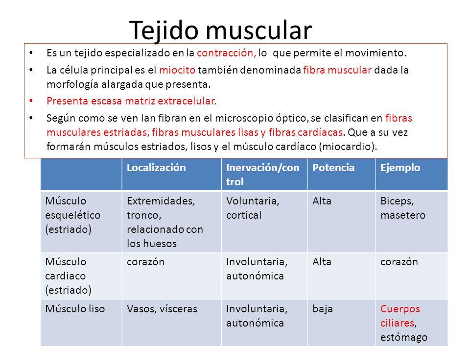 LocalizaciónInervación/con trol PotenciaEjemplo Músculo esquelético (estriado) Extremidades, tronco, relacionado con los huesos Voluntaria, cortical AltaBiceps, masetero Músculo cardiaco (estriado) corazónInvoluntaria, autonómica Altacorazón Músculo lisoVasos, víscerasInvoluntaria, autonómica bajaCuerpos ciliares, estómago Es un tejido especializado en la contracción, lo que permite el movimiento.