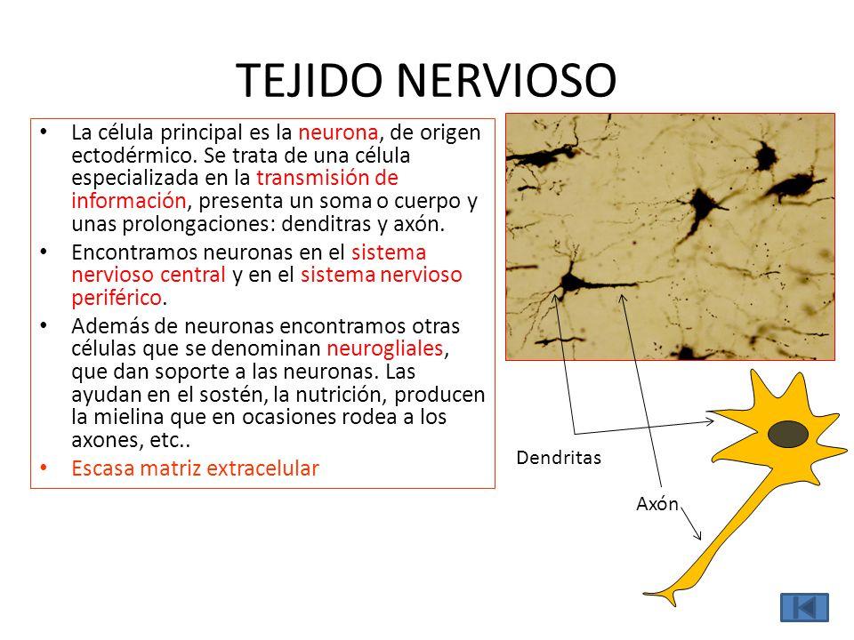 TEJIDO NERVIOSO Axón Dendritas La célula principal es la neurona, de origen ectodérmico. Se trata de una célula especializada en la transmisión de inf