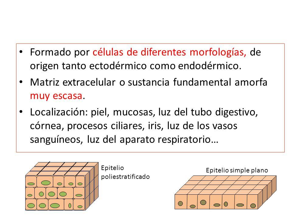 Formado por células de diferentes morfologías, de origen tanto ectodérmico como endodérmico. Matriz extracelular o sustancia fundamental amorfa muy es
