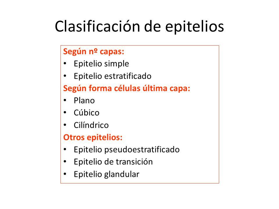 Clasificación de epitelios Según nº capas: Epitelio simple Epitelio estratificado Según forma células última capa: Plano Cúbico Cilíndrico Otros epitelios: Epitelio pseudoestratificado Epitelio de transición Epitelio glandular