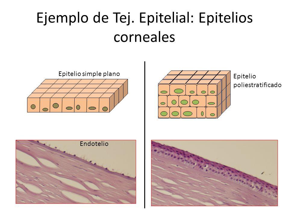 Ejemplo de Tej. Epitelial: Epitelios corneales Epitelio simple plano Epitelio poliestratificado Endotelio