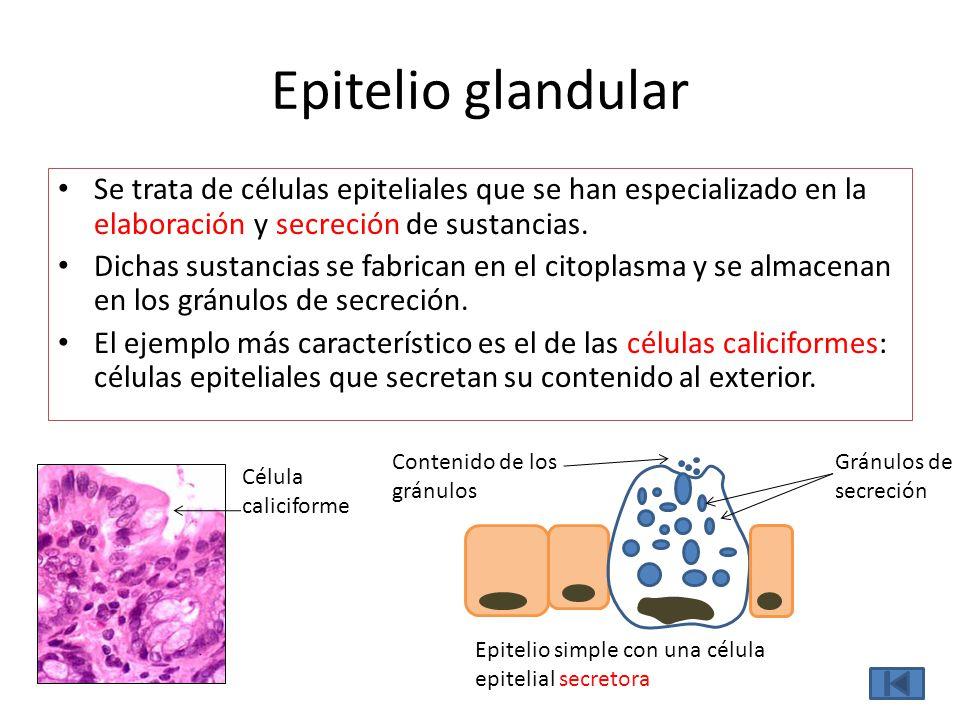 Epitelio glandular Se trata de células epiteliales que se han especializado en la elaboración y secreción de sustancias. Dichas sustancias se fabrican