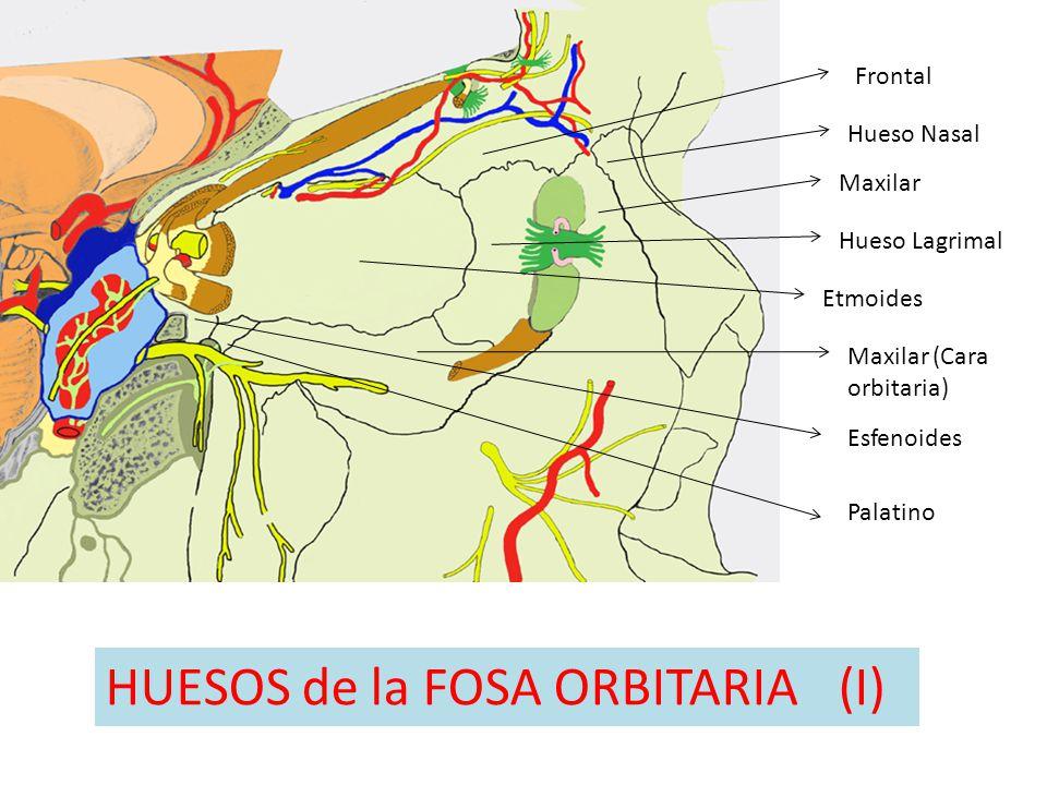 Etmoides Frontal Hueso Nasal Maxilar Hueso Lagrimal Maxilar (Cara orbitaria) Palatino HUESOS de la FOSA ORBITARIA(I) Esfenoides