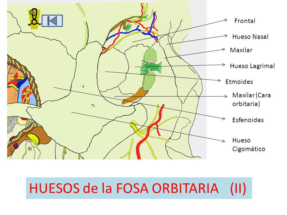 Etmoides Frontal Hueso Nasal Maxilar Hueso Lagrimal Maxilar (Cara orbitaria) Hueso Cigomático HUESOS de la FOSA ORBITARIA(II) Esfenoides