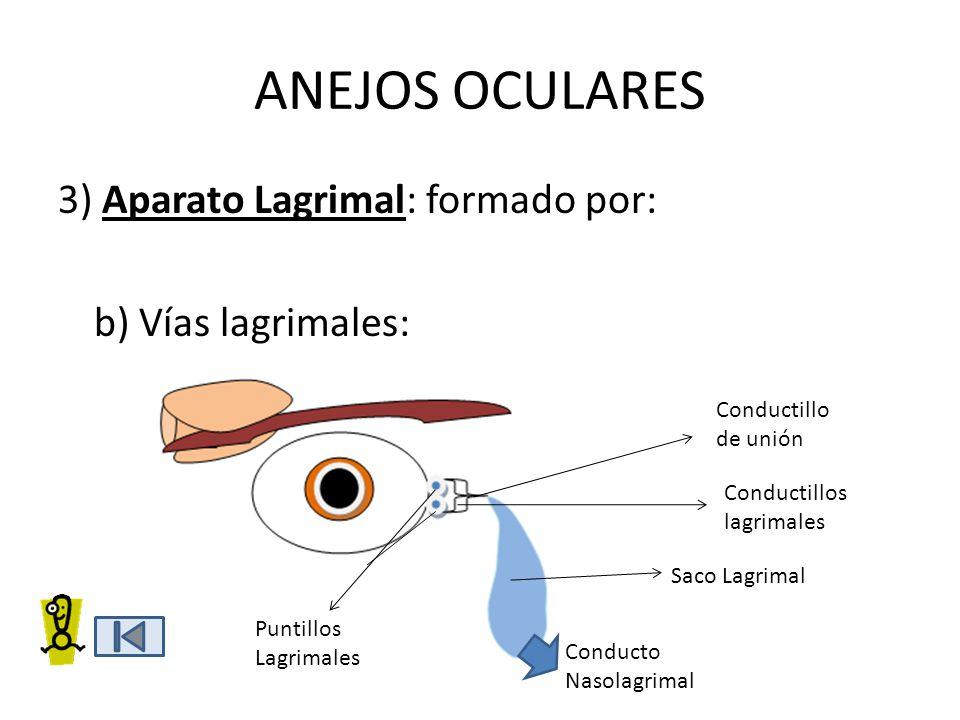 ANEJOS OCULARES 3) Aparato Lagrimal: formado por: b) Vías lagrimales: Conductillo de unión Puntillos Lagrimales Conductillos lagrimales Saco Lagrimal