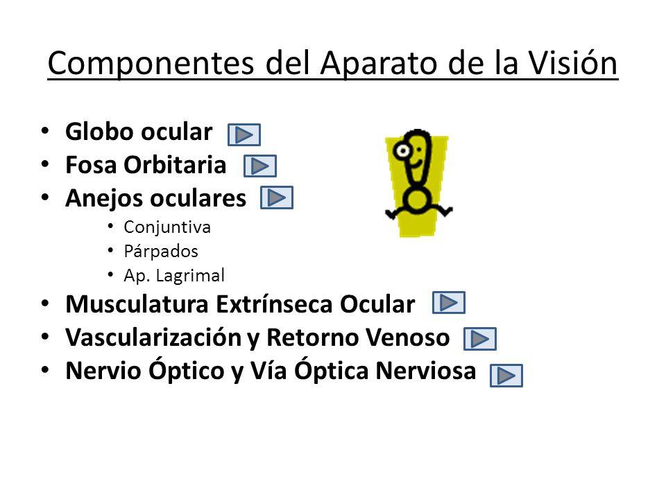 Componentes del Aparato de la Visión Globo ocular Fosa Orbitaria Anejos oculares Conjuntiva Párpados Ap. Lagrimal Musculatura Extrínseca Ocular Vascul