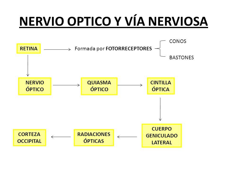 NERVIO OPTICO Y VÍA NERVIOSA RETINA Formada por FOTORRECEPTORES CONOS BASTONES NERVIO ÓPTICO QUIASMA ÓPTICO CORTEZA OCCIPITAL RADIACIONES ÓPTICAS CUER