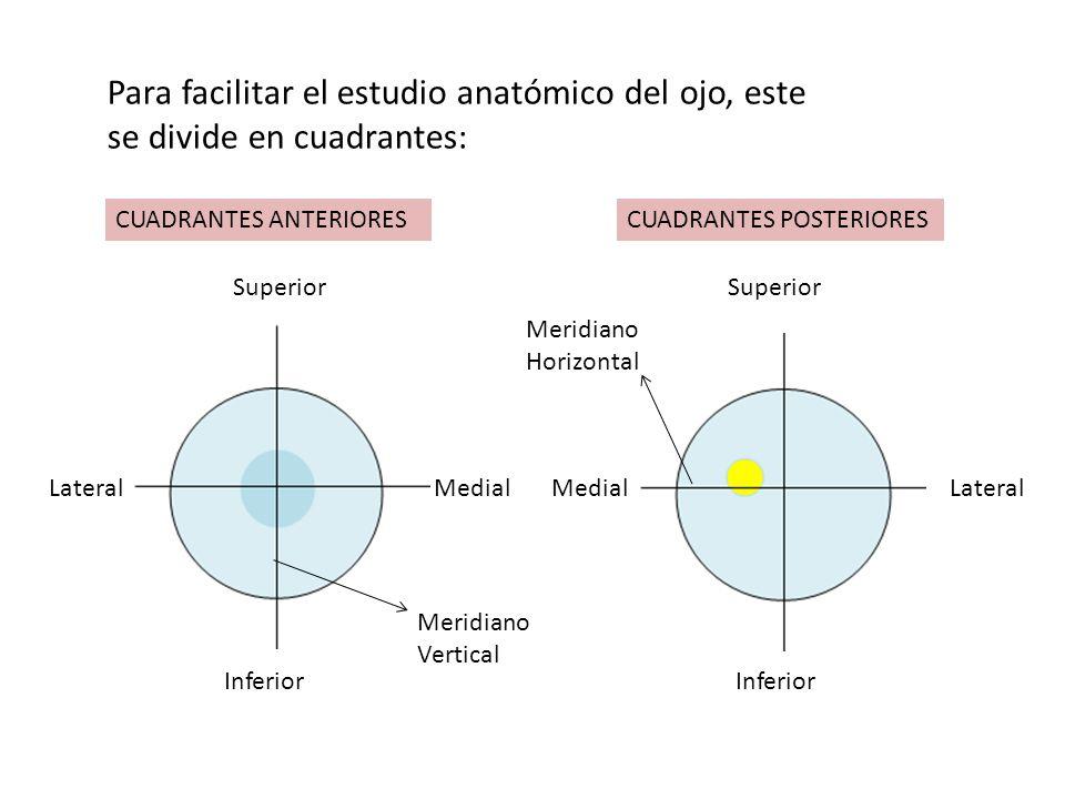 Para facilitar el estudio anatómico del ojo, este se divide en cuadrantes: Superior Inferior Lateral Medial Meridiano Horizontal Meridiano Vertical CU