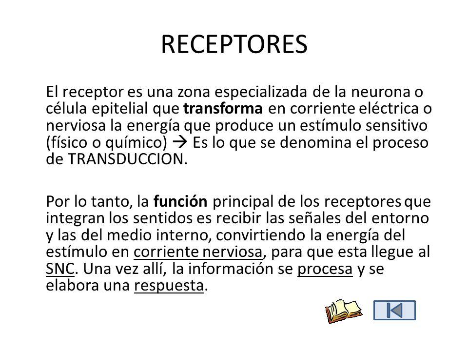 RECEPTORES El receptor es una zona especializada de la neurona o célula epitelial que transforma en corriente eléctrica o nerviosa la energía que prod