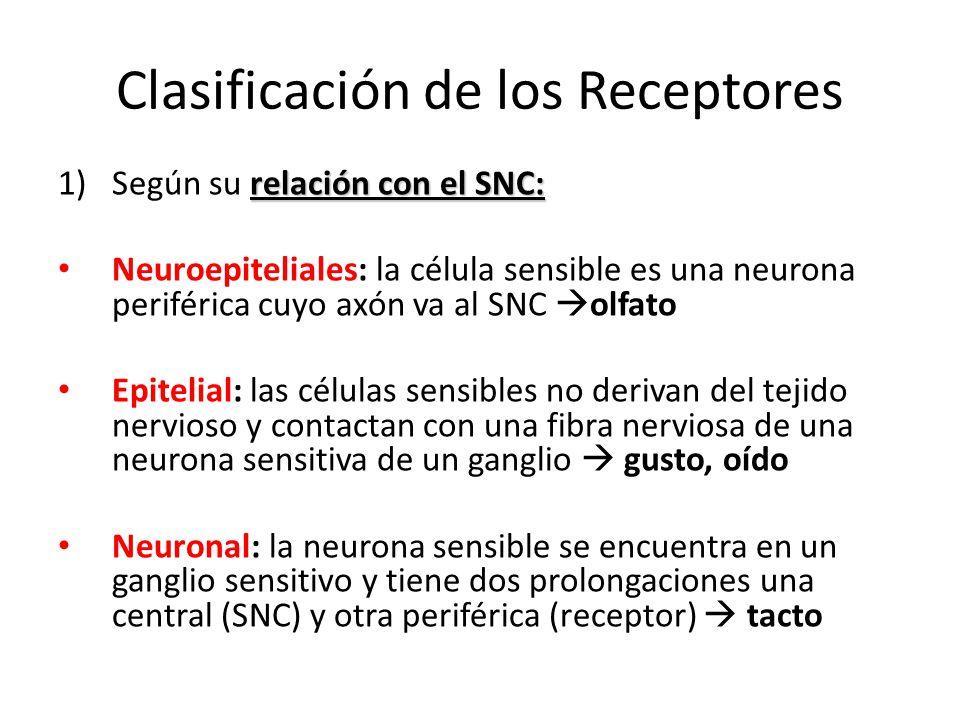 Clasificación de los Receptores relación con el SNC: 1)Según su relación con el SNC: Neuroepiteliales: la célula sensible es una neurona periférica cu
