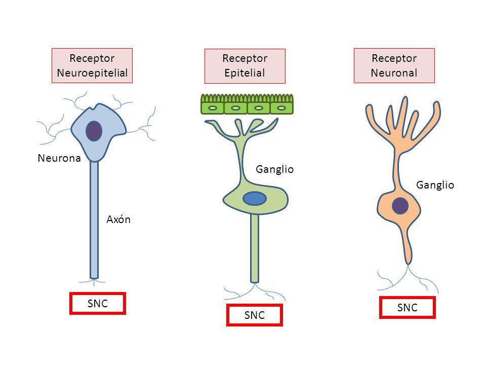 Receptor Neuroepitelial Receptor Neuronal Receptor Epitelial SNC Neurona Axón Ganglio