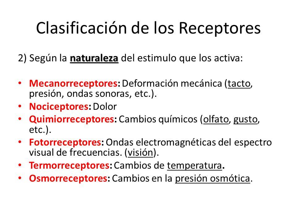 Clasificación de los Receptores naturaleza 2) Según la naturaleza del estimulo que los activa: Mecanorreceptores: Deformación mecánica (tacto, presión