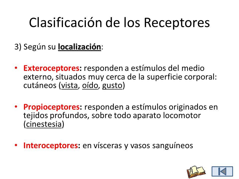 Clasificación de los Receptores localización 3) Según su localización: Exteroceptores: responden a estímulos del medio externo, situados muy cerca de