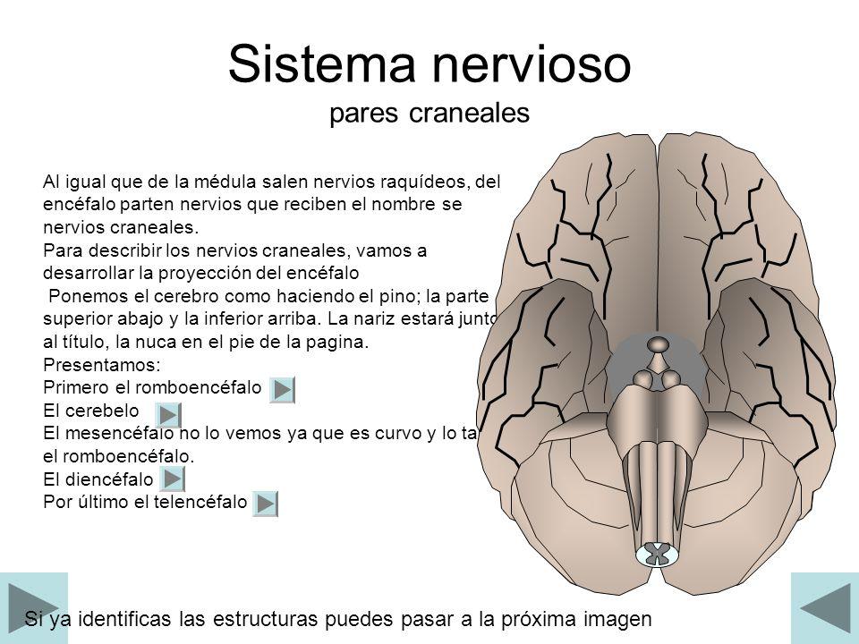 Sistema nervioso pares craneales Al igual que de la médula salen nervios raquídeos, del encéfalo parten nervios que reciben el nombre se nervios crane