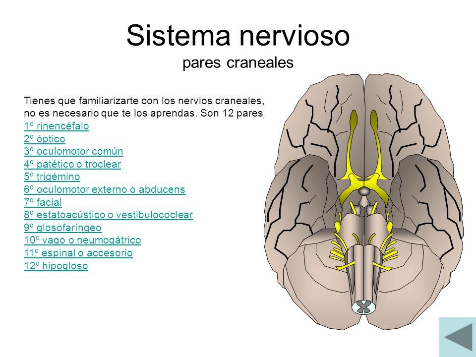 Sistema nervioso pares craneales Tienes que familiarizarte con los nervios craneales, no es necesario que te los aprendas. Son 12 pares 1º rinencéfalo