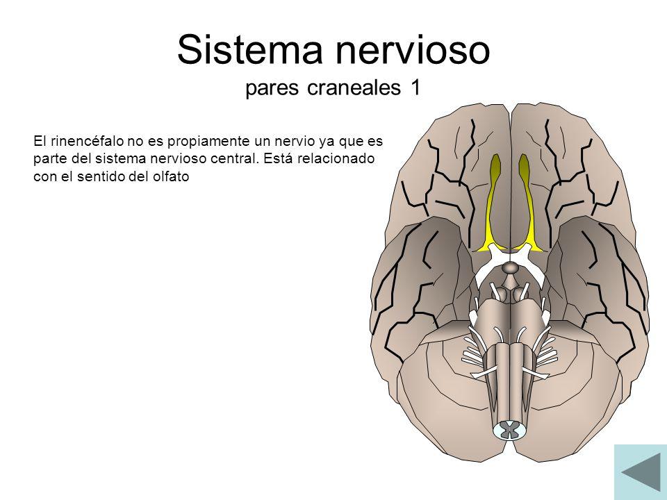 Sistema nervioso pares craneales 1 El rinencéfalo no es propiamente un nervio ya que es parte del sistema nervioso central. Está relacionado con el se