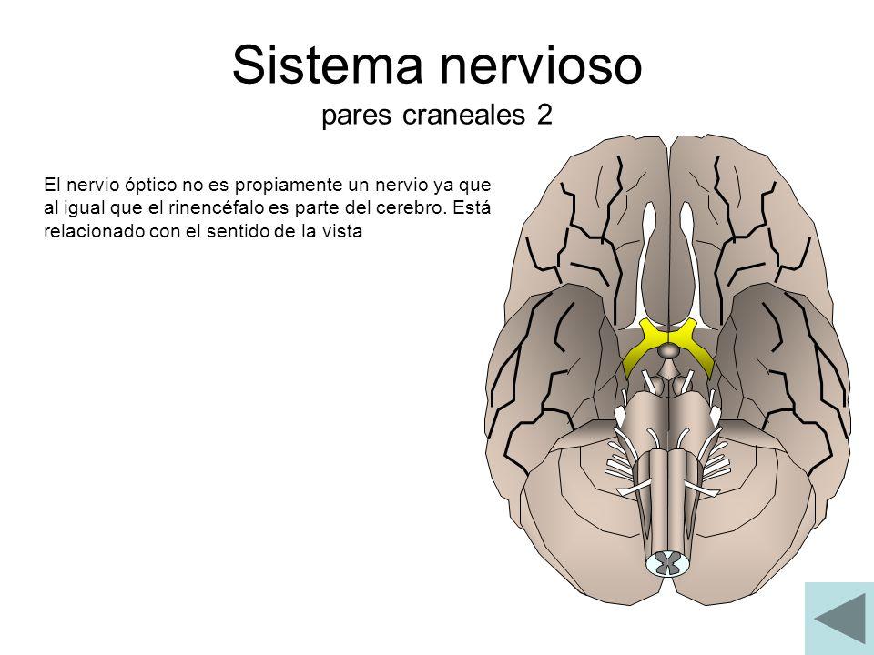 Sistema nervioso pares craneales 2 El nervio óptico no es propiamente un nervio ya que al igual que el rinencéfalo es parte del cerebro. Está relacion