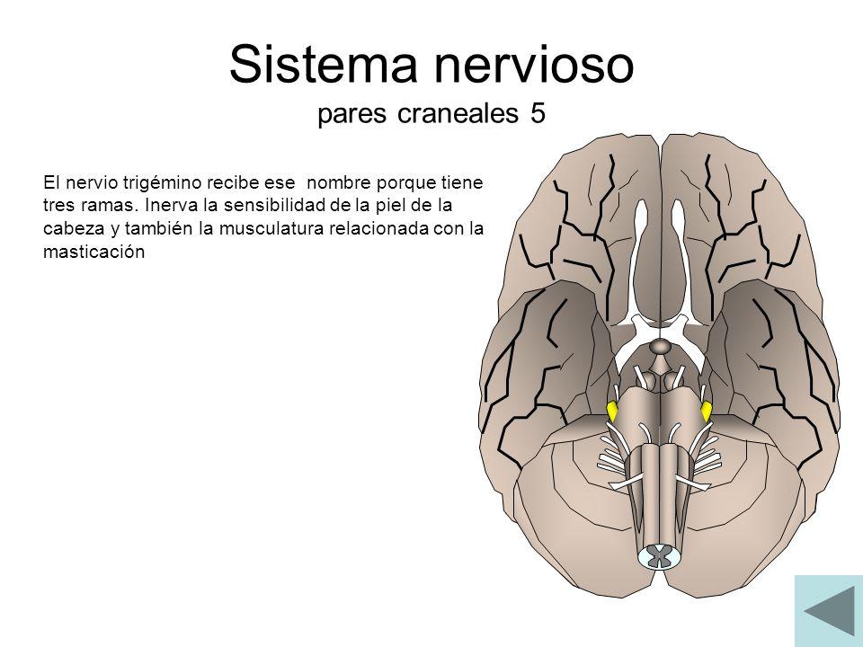 Sistema nervioso pares craneales 5 El nervio trigémino recibe ese nombre porque tiene tres ramas. Inerva la sensibilidad de la piel de la cabeza y tam