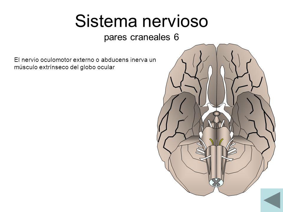 Sistema nervioso pares craneales 6 El nervio oculomotor externo o abducens inerva un músculo extrínseco del globo ocular