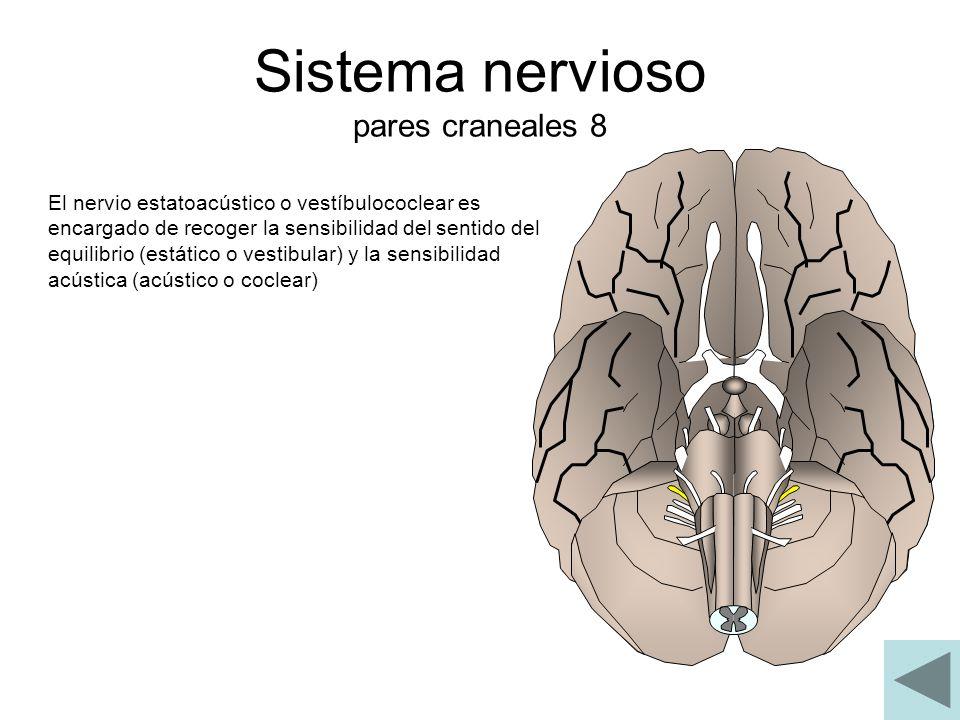 Sistema nervioso pares craneales 8 El nervio estatoacústico o vestíbulococlear es encargado de recoger la sensibilidad del sentido del equilibrio (est