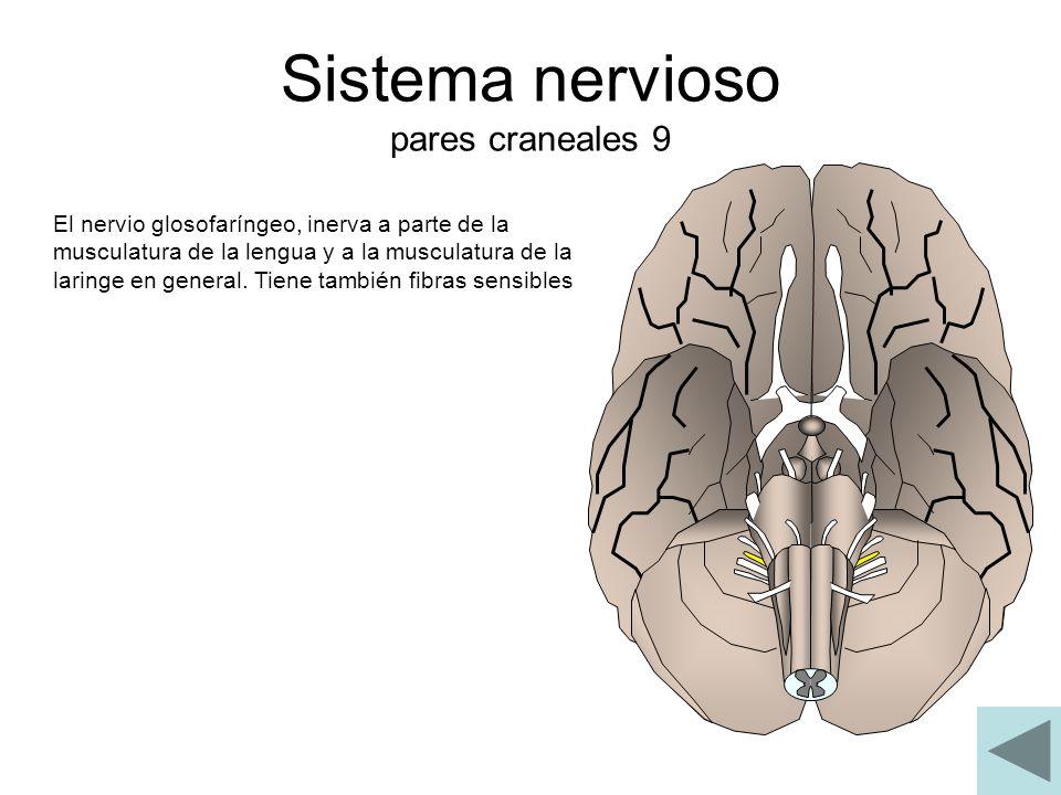 Sistema nervioso pares craneales 9 El nervio glosofaríngeo, inerva a parte de la musculatura de la lengua y a la musculatura de la laringe en general.