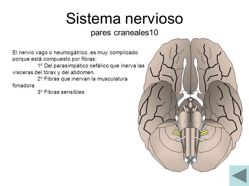 Sistema nervioso pares craneales10 El nervio vago o neumogátrico, es muy complicado porque está compuesto por fibras: 1º Del parasimpático cefálico qu