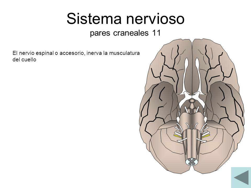 Sistema nervioso pares craneales 11 El nervio espinal o accesorio, inerva la musculatura del cuello