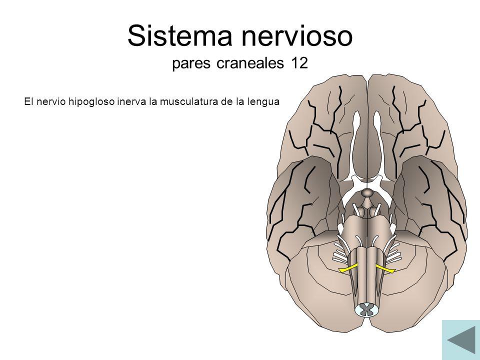 Sistema nervioso pares craneales 12 El nervio hipogloso inerva la musculatura de la lengua