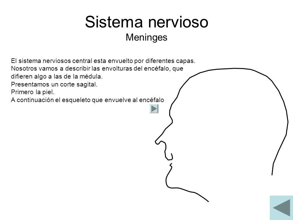 Sistema nervioso Meninges El sistema nerviosos central esta envuelto por diferentes capas. Nosotros vamos a describir las envolturas del encéfalo, que