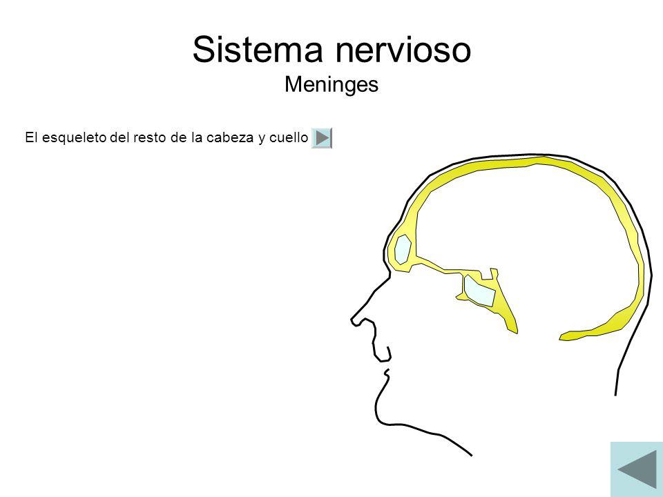 Sistema nervioso Meninges El esqueleto del resto de la cabeza y cuello