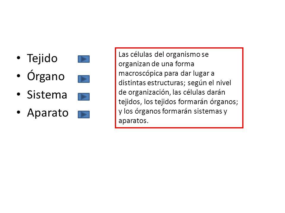 Tejido Órgano Sistema Aparato Las células del organismo se organizan de una forma macroscópica para dar lugar a distintas estructuras; según el nivel