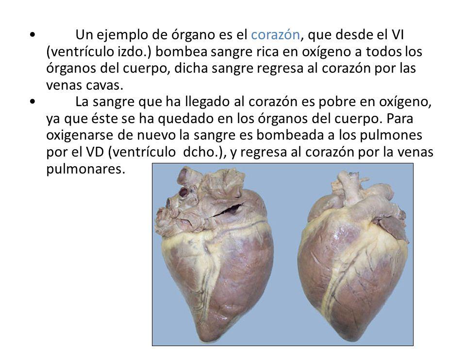Un ejemplo de órgano es el corazón, que desde el VI (ventrículo izdo.) bombea sangre rica en oxígeno a todos los órganos del cuerpo, dicha sangre regr