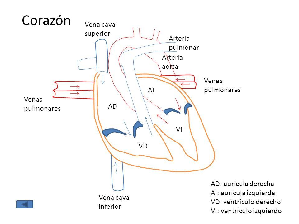 AD VD AI VI Corazón AD: aurícula derecha AI: aurícula izquierda VD: ventrículo derecho VI: ventrículo izquierdo Venas pulmonares Vena cava inferior Ve