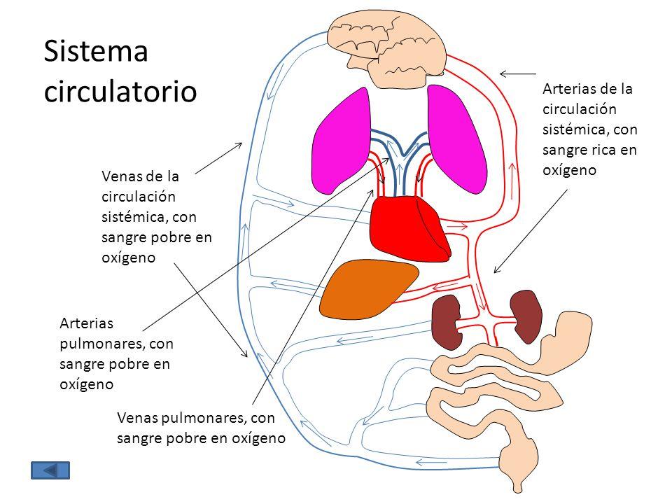 Sistema circulatorio Venas de la circulación sistémica, con sangre pobre en oxígeno Arterias de la circulación sistémica, con sangre rica en oxígeno A