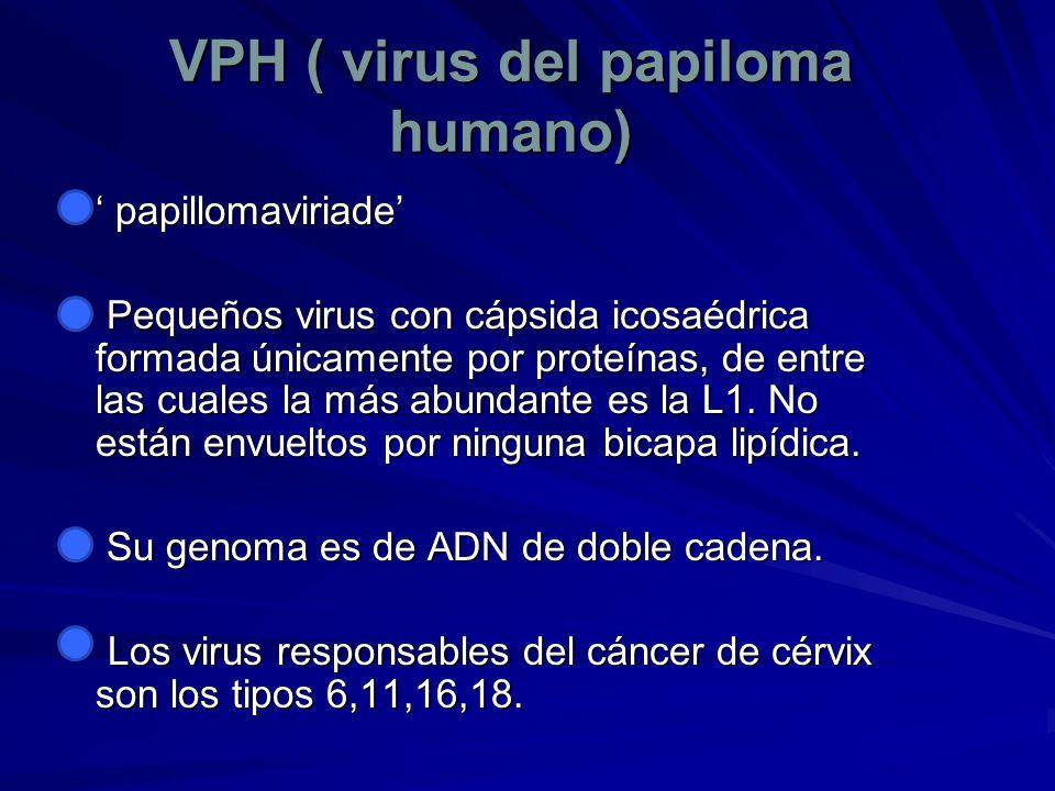 VPH ( virus del papiloma humano) papillomaviriade papillomaviriade Pequeños virus con cápsida icosaédrica formada únicamente por proteínas, de entre l