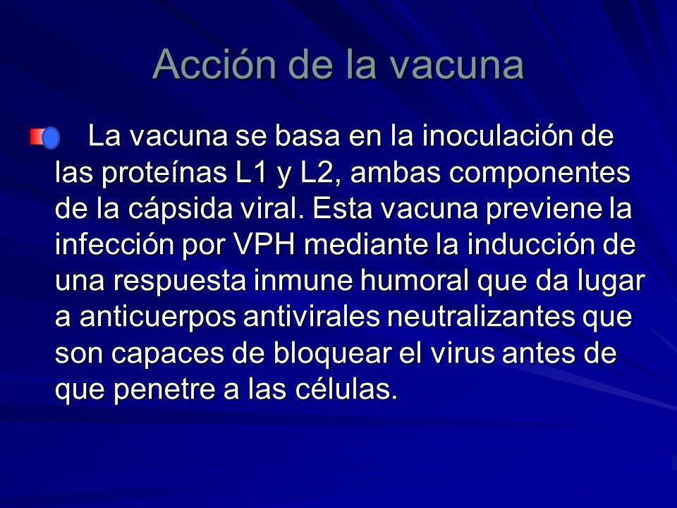 Acción de la vacuna La vacuna se basa en la inoculación de las proteínas L1 y L2, ambas componentes de la cápsida viral. Esta vacuna previene la infec