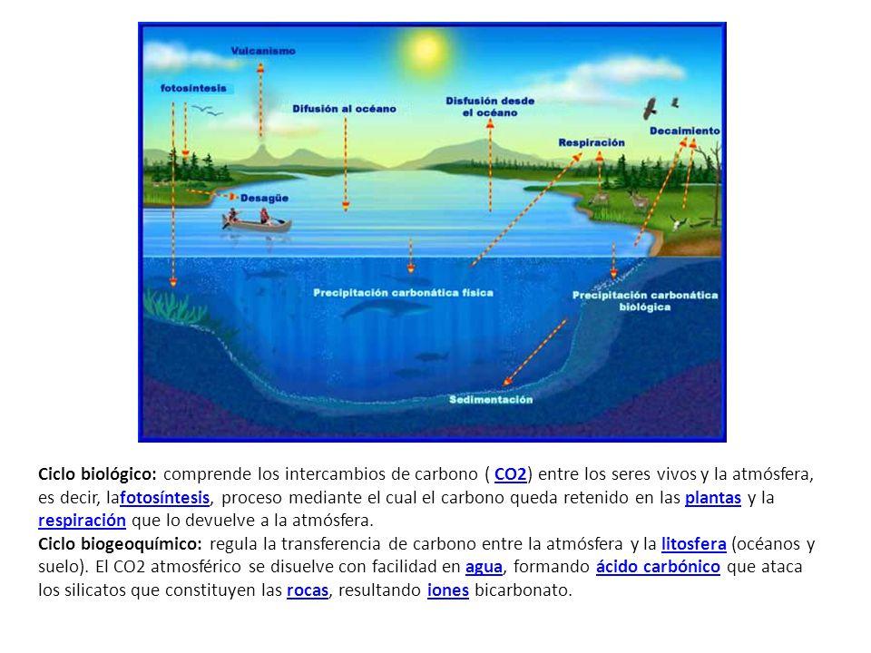 Ciclo biológico: comprende los intercambios de carbono ( CO2) entre los seres vivos y la atmósfera, es decir, lafotosíntesis, proceso mediante el cual