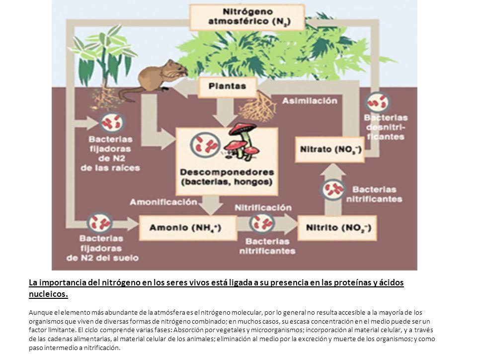 La importancia del nitrógeno en los seres vivos está ligada a su presencia en las proteínas y ácidos nucleicos. Aunque el elemento más abundante de la