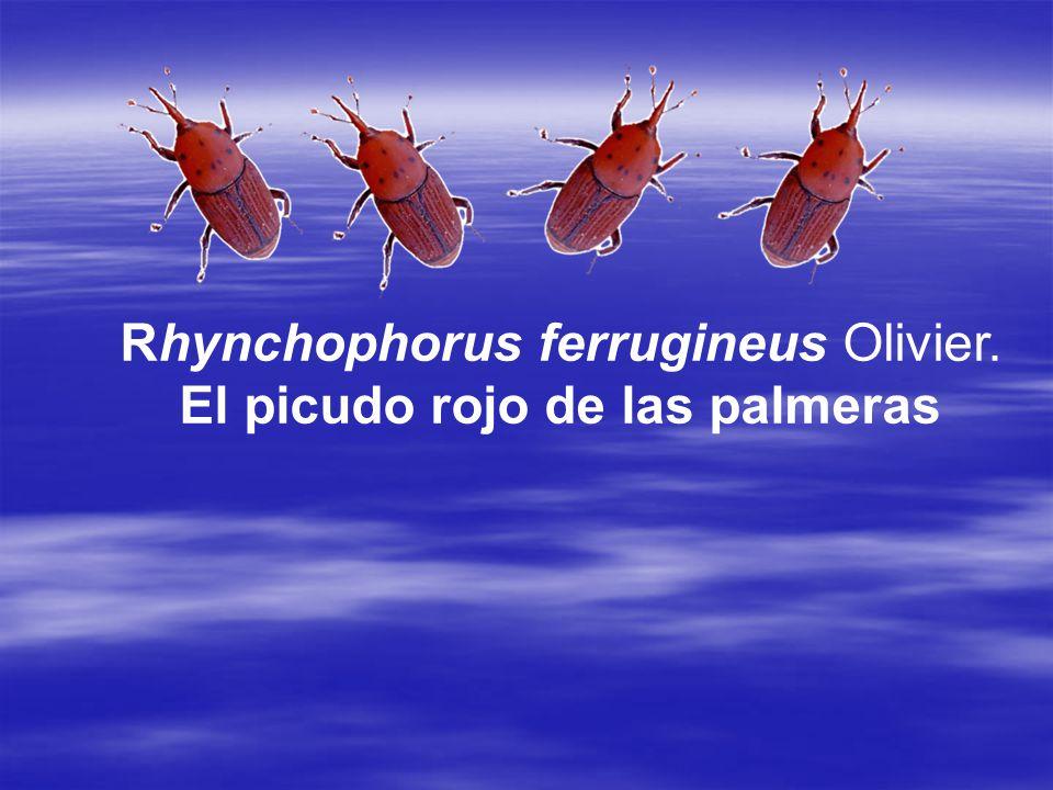Este curculionido, considerado en la actualidad como la plaga mas dañina de palmeras fue observado por primera vez en España en 1995 en la costa de Granada, en focos localizados.