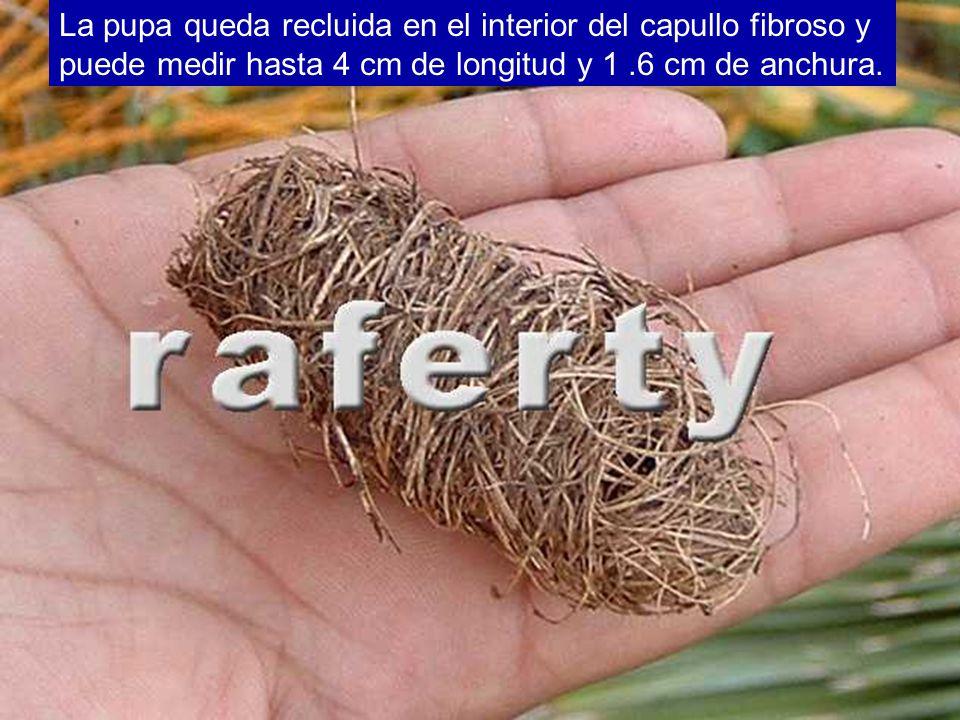 La pupa queda recluida en el interior del capullo fibroso y puede medir hasta 4 cm de longitud y 1.6 cm de anchura.