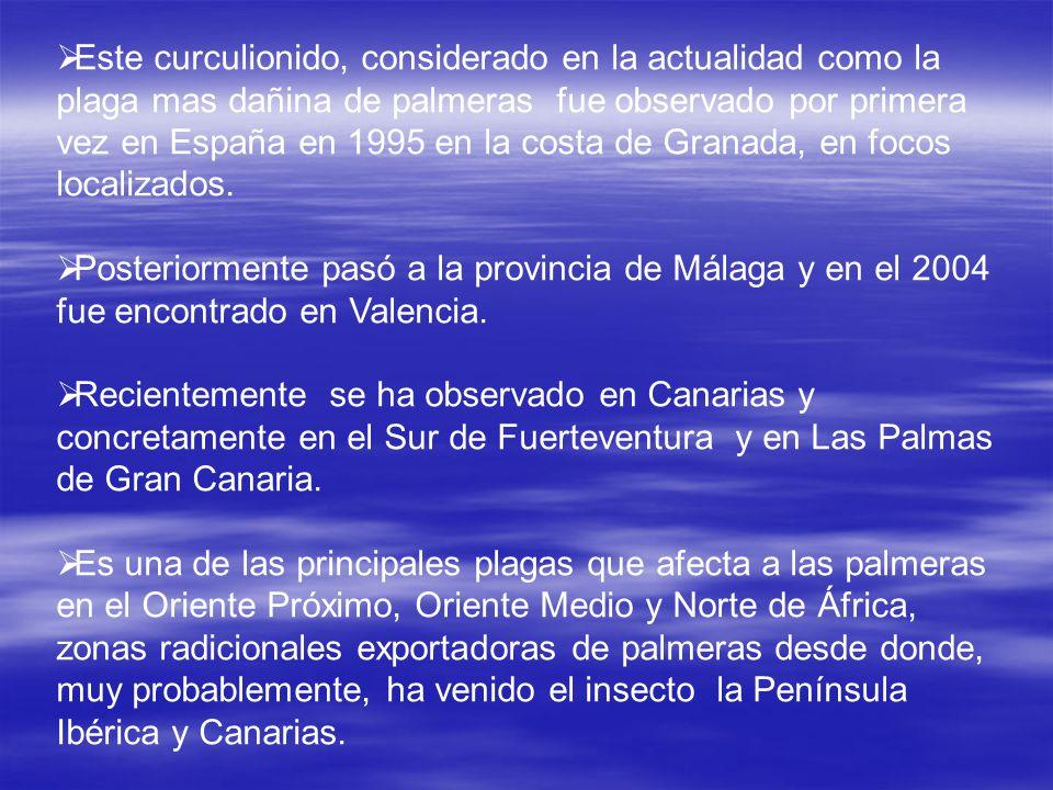 Este curculionido, considerado en la actualidad como la plaga mas dañina de palmeras fue observado por primera vez en España en 1995 en la costa de Gr