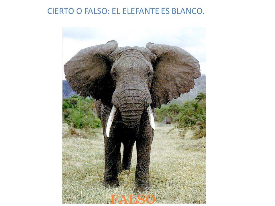 CIERTO O FALSO: EL ELEFANTE ES BLANCO. FALSO