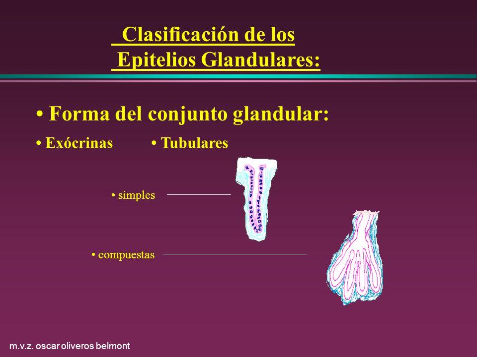 m.v.z. oscar oliveros belmont Clasificación de los Epitelios Glandulares: Forma del conjunto glandular: Exócrinas Tubulares simples compuestas