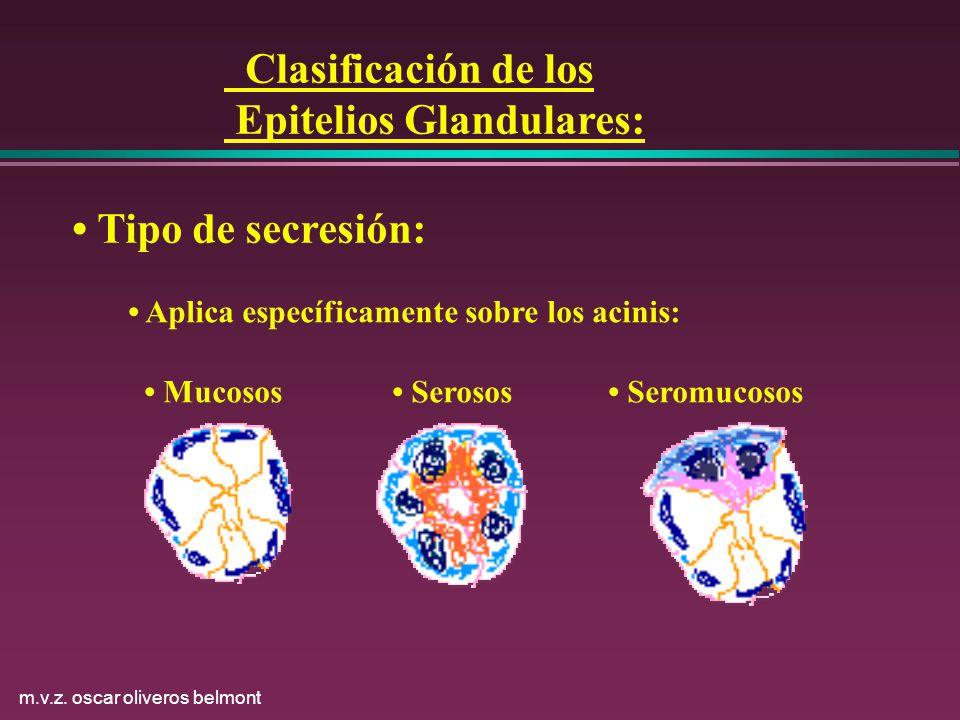 m.v.z. oscar oliveros belmont Clasificación de los Epitelios Glandulares: Tipo de secresión: Aplica específicamente sobre los acinis: Mucosos Serosos